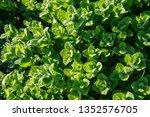 wild peppermint background on... | Shutterstock . vector #1352576705