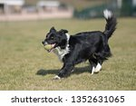border collie dog. stroll.... | Shutterstock . vector #1352631065
