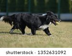 border collie dog. stroll.... | Shutterstock . vector #1352631092