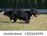 border collie dog. stroll.... | Shutterstock . vector #1352631095