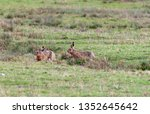 Stock photo hares running in a field 1352645642