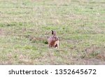 Stock photo hares running in a field 1352645672