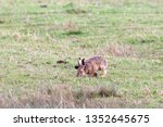 Stock photo hares running in a field 1352645675