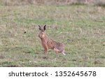 Stock photo hares running in a field 1352645678