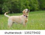 A Puppy Of Labrador Retriever...