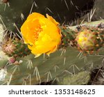 Prickly Pear Cactus With Orange ...