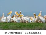 pelicans in natural habitat | Shutterstock . vector #135320666