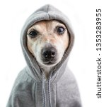 Small photo of a serious focused look with contempt. Haughty judgmental dog face in hood. Funny dog calm mood. White background
