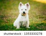 cute west highland white... | Shutterstock . vector #1353333278
