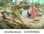 baby bird in nest | Shutterstock . vector #135354836