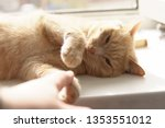 Stock photo a gentle kitten plays with a human hand and squints with pleasure a domestic pet lies on a 1353551012