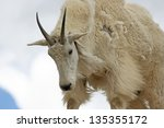 Portrait Of Mountain Goat On...