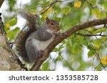 Portrait Of A Grey Squirrel ...