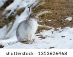 Stock photo mountain hare photographed during early spring showing the mixed colours of brown and white 1353626468