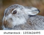 Stock photo mountain hare photographed during early spring showing the mixed colours of brown and white 1353626495