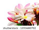 plumeria pink plumeria... | Shutterstock . vector #1353680702