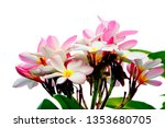 plumeria pink plumeria... | Shutterstock . vector #1353680705