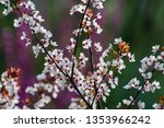 plum blossoms with purple... | Shutterstock . vector #1353966242