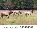 Elk Family In The Field