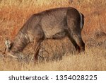 Waterbuck With Head In The...