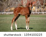 few weeks old colt live on a...   Shutterstock . vector #1354103225