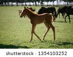 few weeks old colt live on a...   Shutterstock . vector #1354103252
