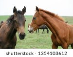 few weeks old colt live on a...   Shutterstock . vector #1354103612