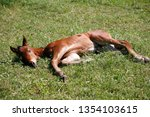 few weeks old colt live on a...   Shutterstock . vector #1354103615