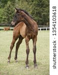 few weeks old colt live on a...   Shutterstock . vector #1354103618