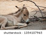 onager  equus hemionus  | Shutterstock . vector #1354107965