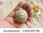 africa spurred tortoise are... | Shutterstock . vector #1354145738