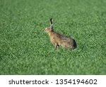 Stock photo  european hare lepus europaeus also known as the brown hare in a green field 1354194602