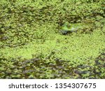 Bright Green Frog With Golden...