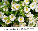 Cherokee Rose The Official...