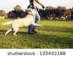 Stock photo a mixed labrador female dog looking up and running after the chew toy her trainer is holding 135432188