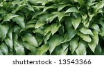 green sharp leafs | Shutterstock . vector #13543366