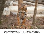 bengal tiger in zoo  panthera...   Shutterstock . vector #1354369802