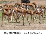 A Group Of Springbuck