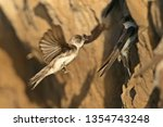 Sand Martin (Riparia riparia) nest in the tunnels that they open in sandy lands near the rivers.