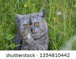 Emotional British Grey Cat On A ...