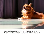 chihuahua sunbathing on the... | Shutterstock . vector #1354864772