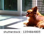 chihuahua sunbathing on the... | Shutterstock . vector #1354864805