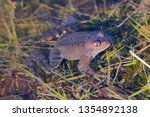 European Common Brown Frog  Or...