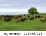 Herd Of Bison With Calves In A...