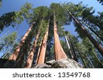 Sequoia Sempervirens  The Genu...