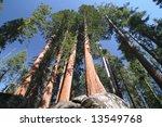 Sequoia Sempervirens  The Genu...