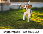 Beagle dog runs in garden towards the camera with green ball. Sunny day dog fetching a toy. Copy space.