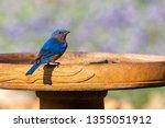 Eastern Bluebird Resting On A...