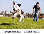 a pit bull dog  mid air ... | Shutterstock . vector #135557018