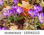 Closeup Of Blooming Crocuses...